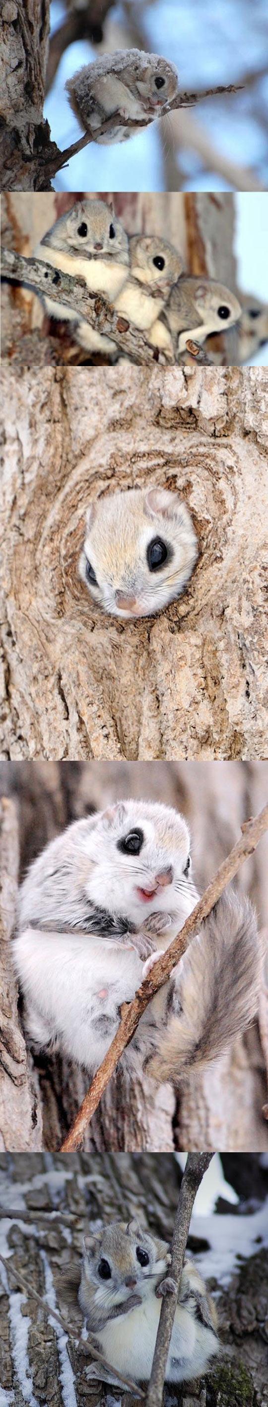 Cute Japanese Flying Squirrels
