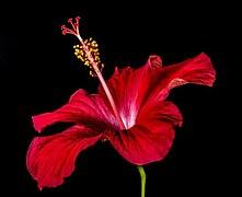 hibiscus-276473__180
