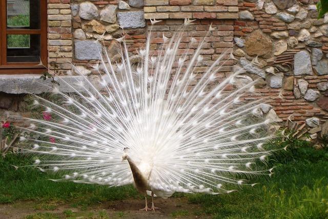peacock-386304_640