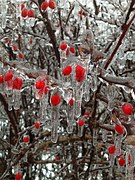berries-302341__180