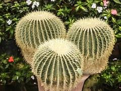 cactus-372927__180