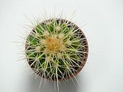 golden-ball-cactus-59890__180