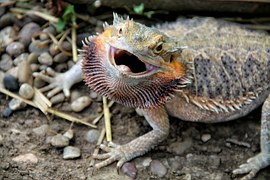 bearded-dragon-314833__180 Bearded Dragon reptile