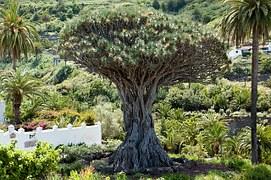 dragon-tree-347596__180