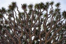 dragon-tree-461817__180