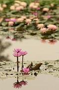 lotus-521415__180