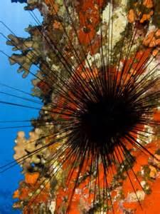 thH3ZVFGF2 Spined ssea urchin (diadema Paucis)