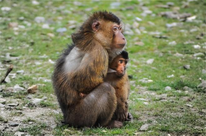 barbary-ape-384632_960_720