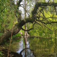 The Magic of Trees: The Weeping Willow #SpiritualSisters #SistersofTheFey